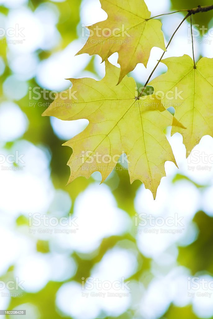 Autumn Maple foliage - XVI royalty-free stock photo