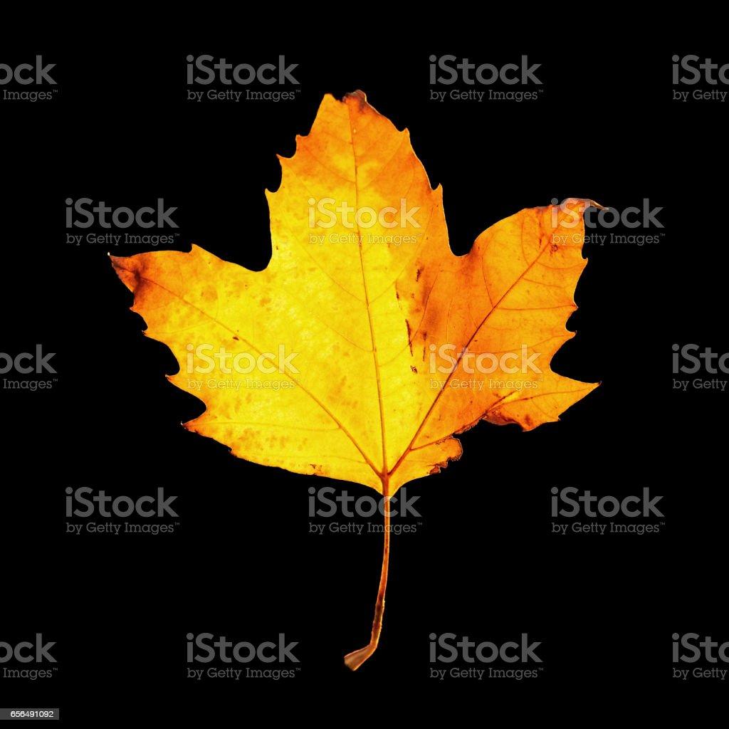 Autumn maple leaf against black stock photo