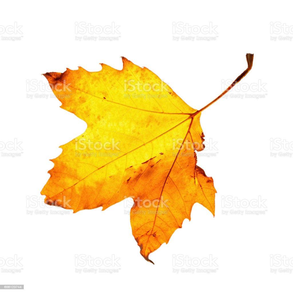 Autumn maple leaf against white stock photo
