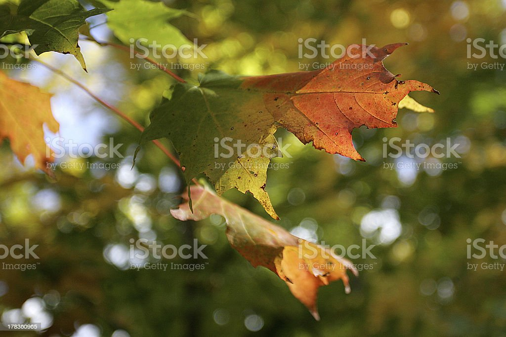 Autumn maple leaf changing colours stock photo