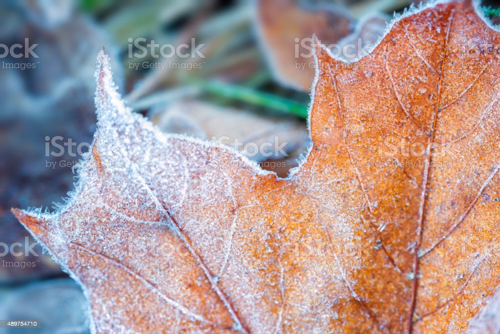 Autumn maple leaf covered in ice crystals stock photo