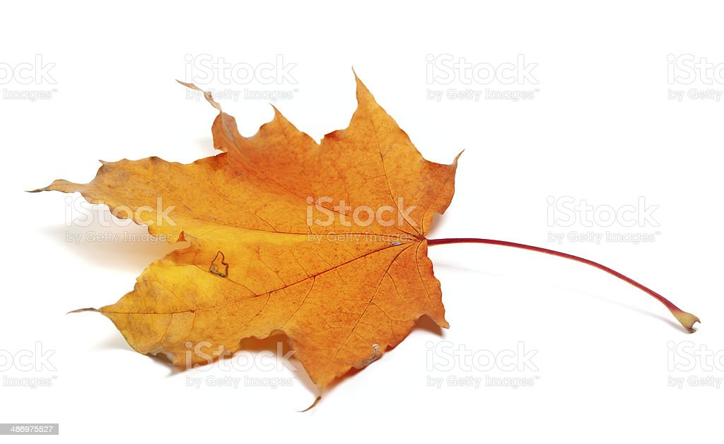 Autumn maple leaf on white background stock photo