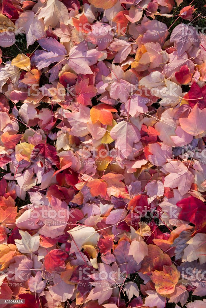 Autumn Maple Leaves Background stock photo