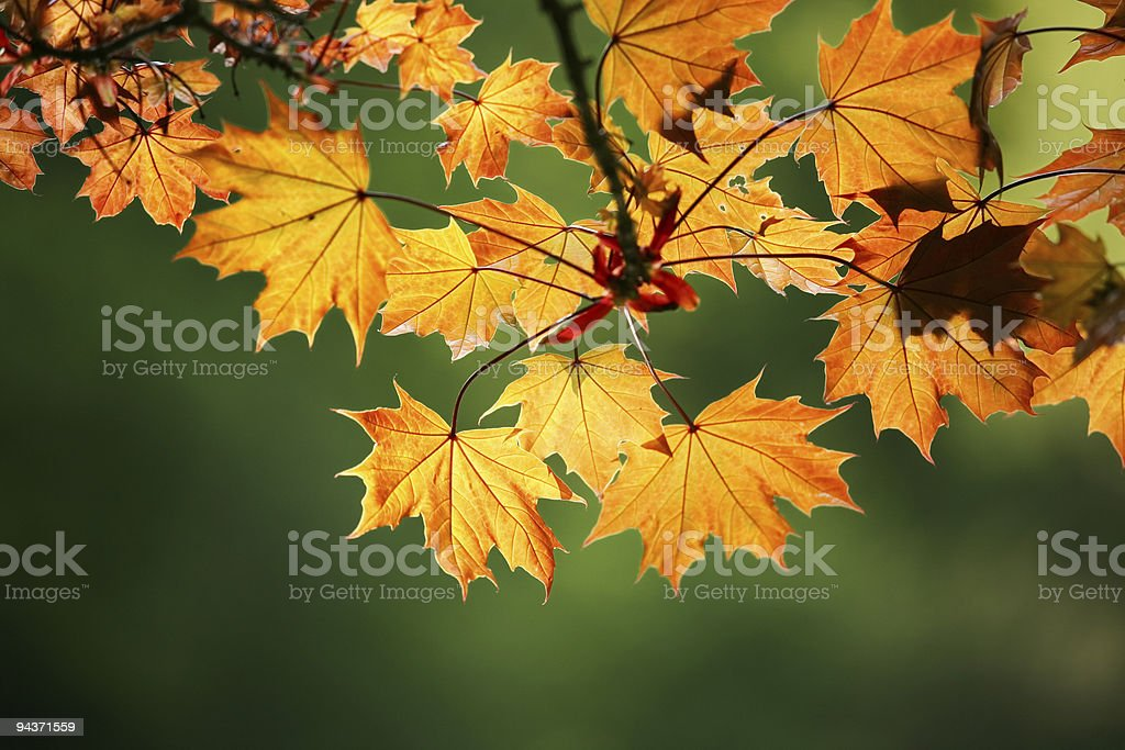 Autumn maple leaves cast by the sun royalty-free stock photo