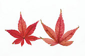Autumn maple leaves changing colors on a white background.