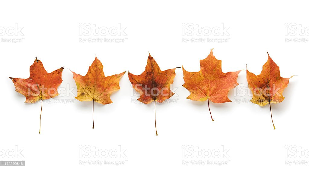 Autumn Maple Leaves Group Portrait royalty-free stock photo