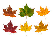 Autumn Maple Leaves In Different Colours