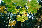 Autumn maple leaves in the forest