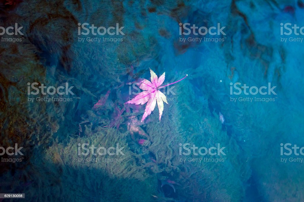 Autumn maple leaves in water at a garden pond stock photo