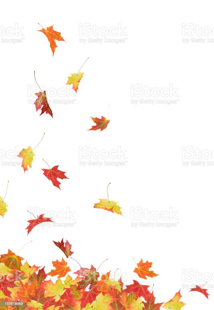 Autumn Maple Leaves royalty-free stock photo
