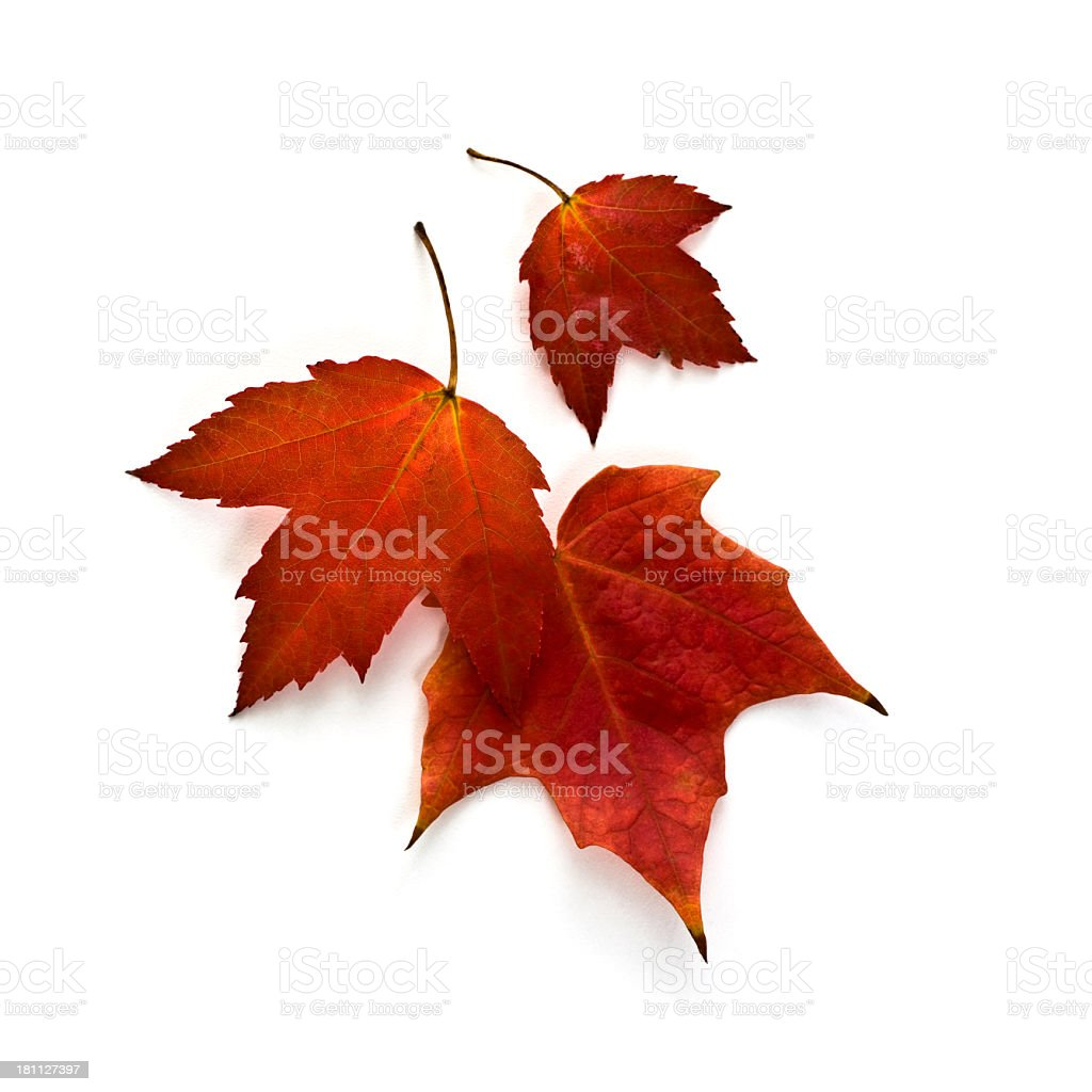 Autumn Maple Leaves royalty-free stock photo