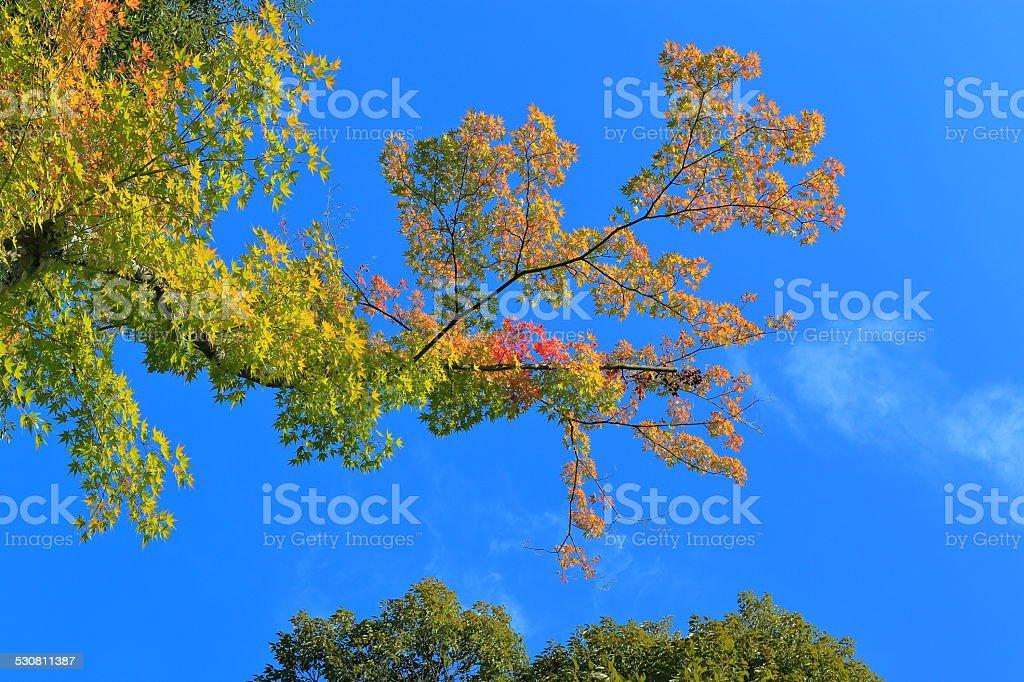 Autumn maple of Kyoto, Japan stock photo