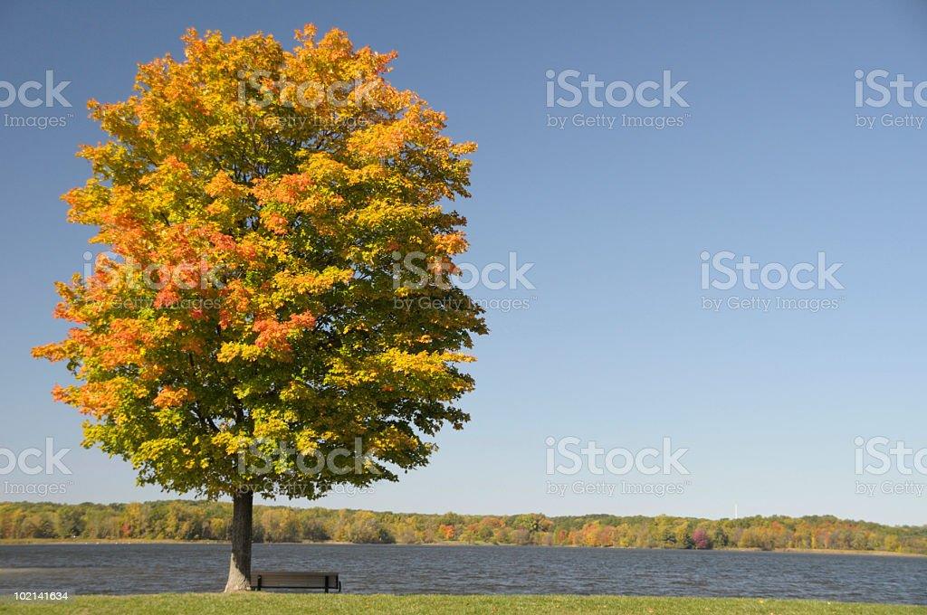 Autumn Maple royalty-free stock photo