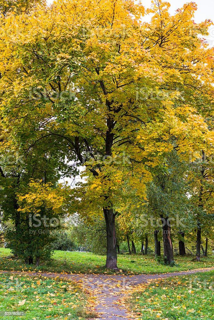 Autumn maple tree at the intersection of two paths stock photo