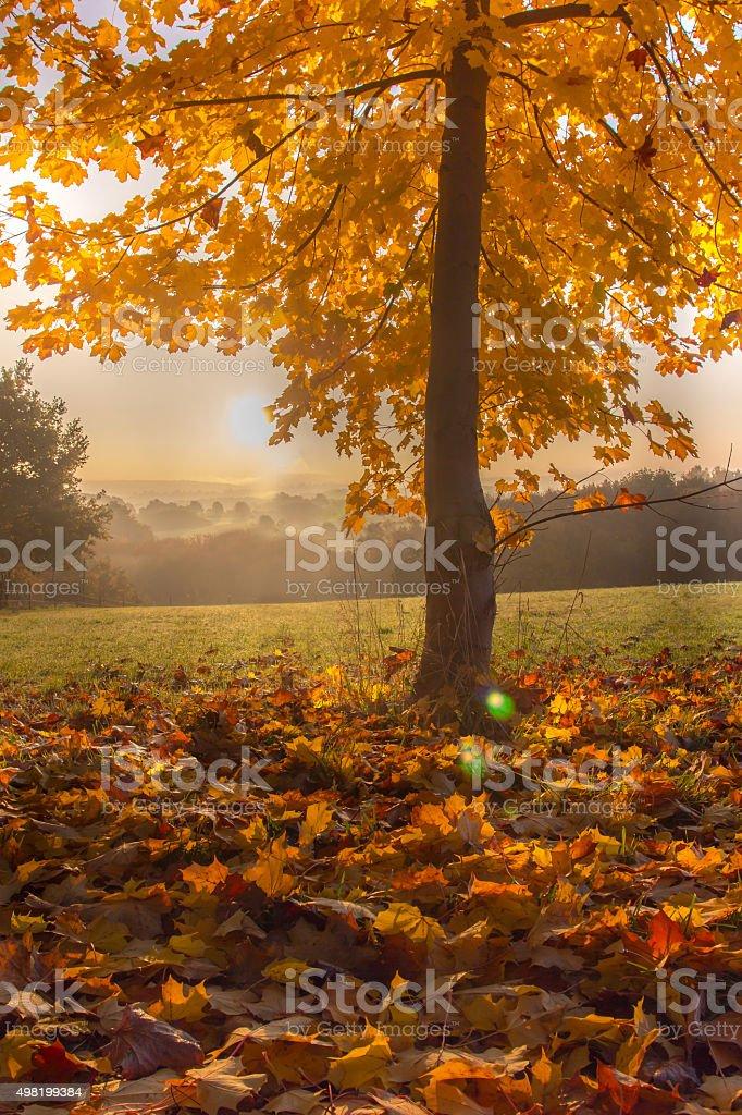 Autumn maple tree in Sunrise stock photo