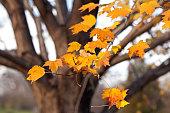 Autumn Maple Tree Leafs