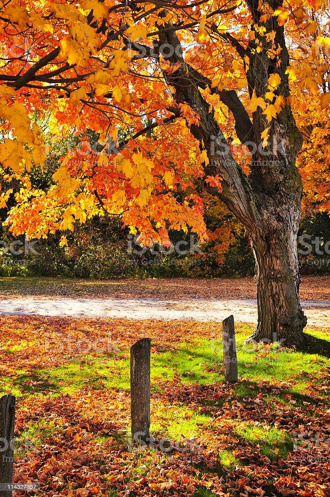 Autumn maple tree near road stock photo