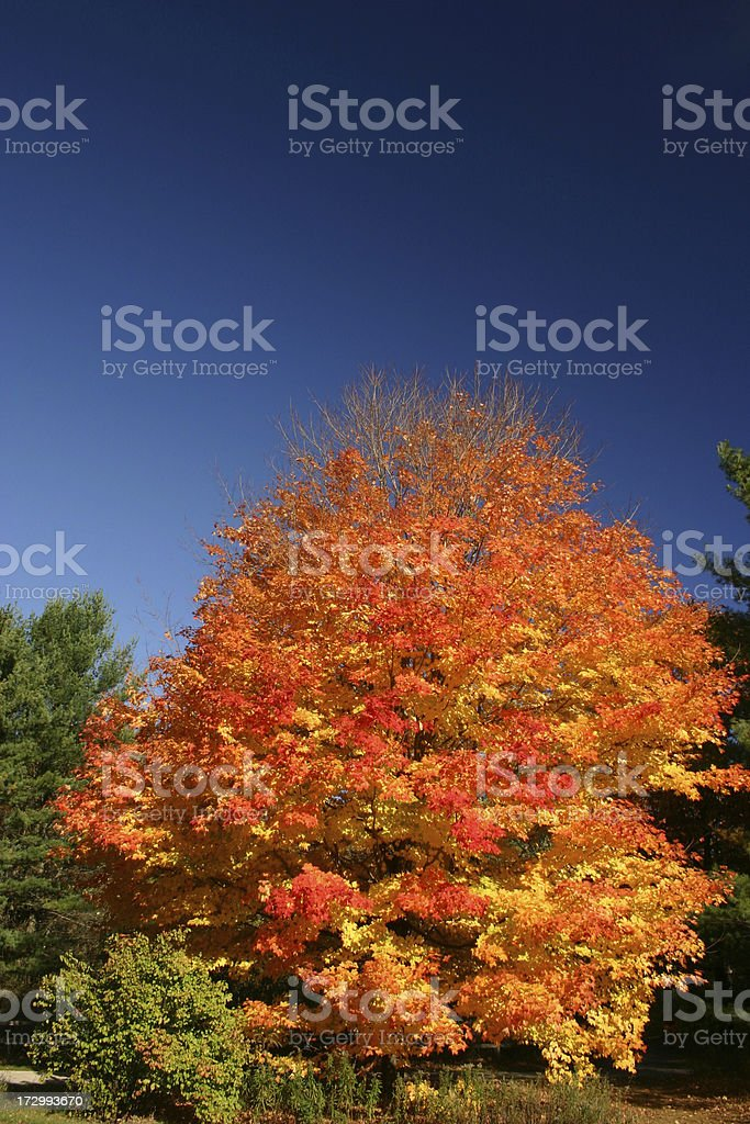 autumn maple tree royalty-free stock photo