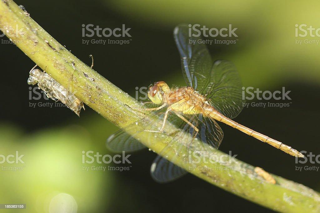 Autumn Meadowhawk - Immature Male royalty-free stock photo