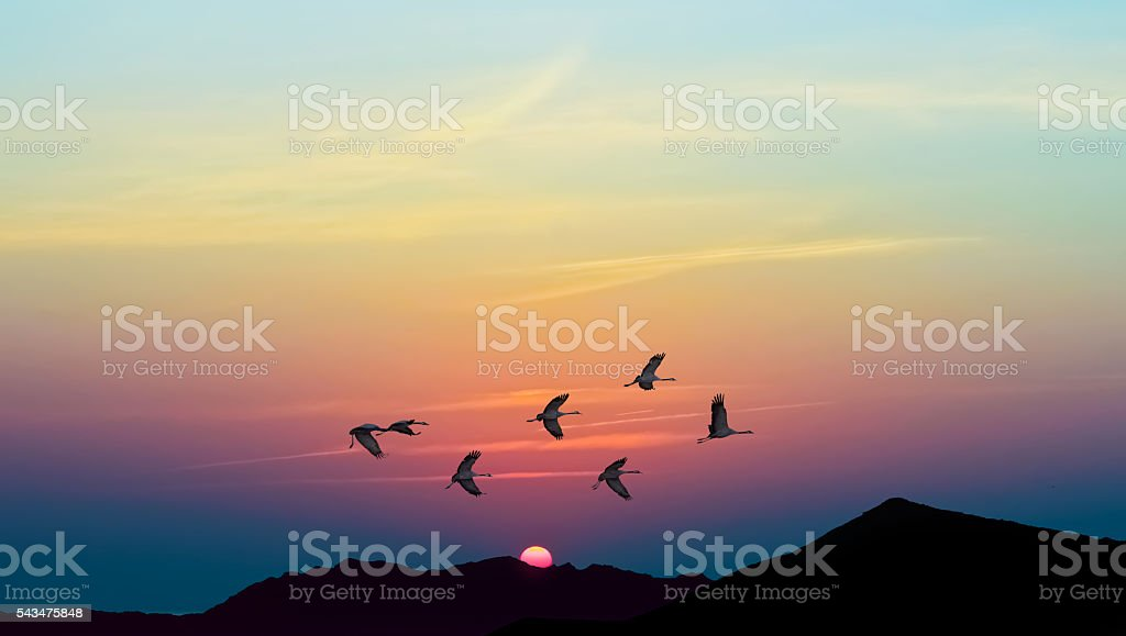 Autumn migration of cranes panoramic view stock photo
