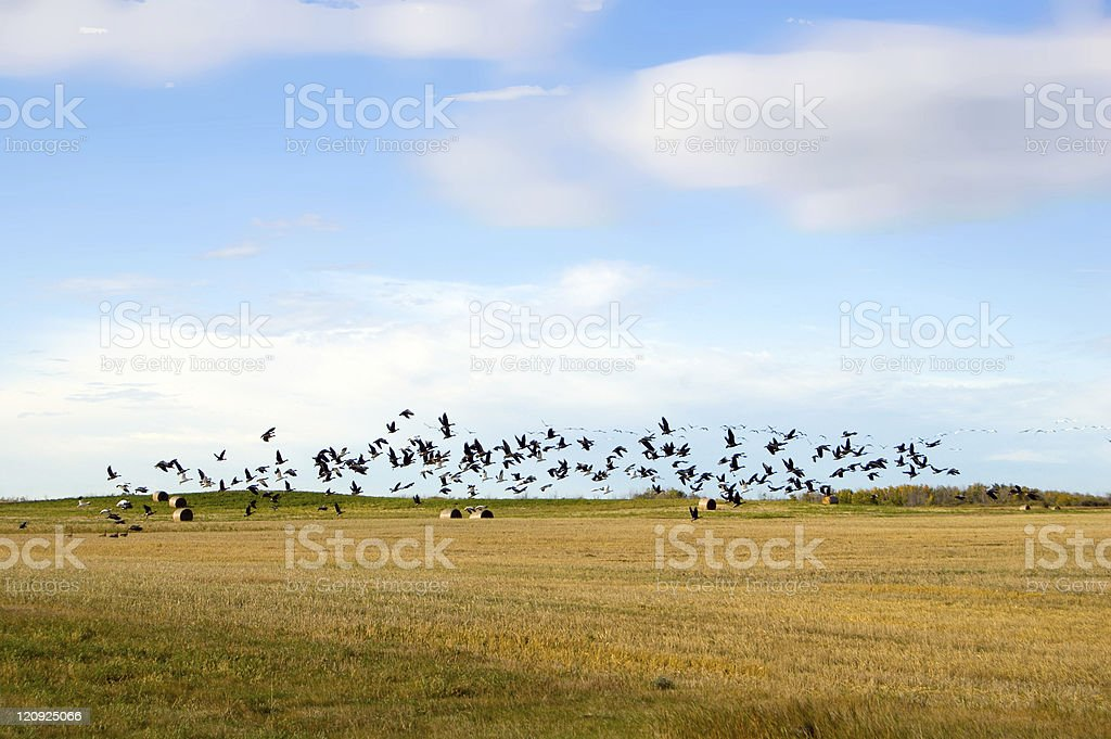 Autumn Migratory Geese and wheat field stock photo