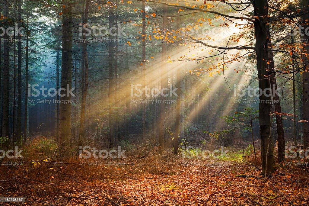 Autumn Misty forest - Morning Sun Beams royalty-free stock photo