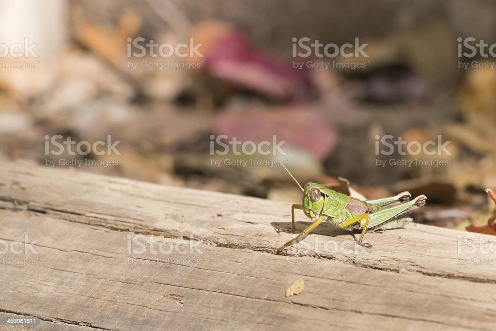 Autumn Miyama butterbur grasshopper royalty-free stock photo