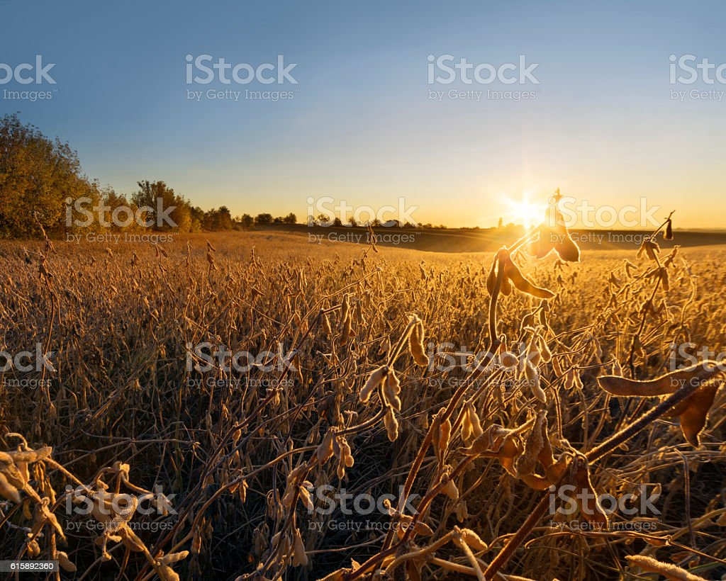 Autumn morning at the soybean field stock photo