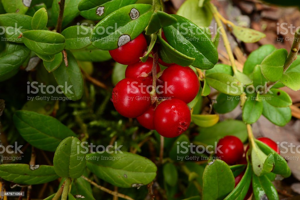 Autumn morning dew on berries cranberries stock photo
