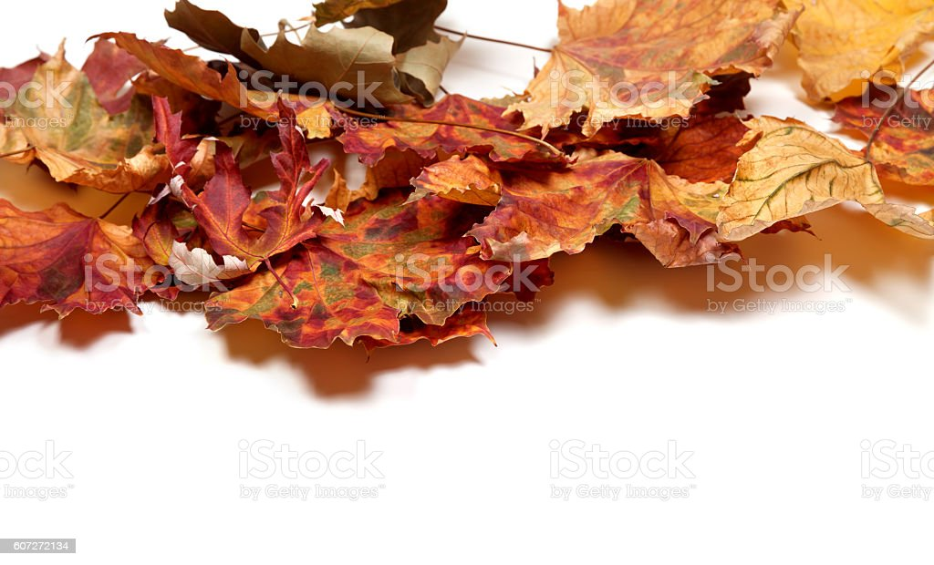 Autumn multicolor maple leafs stock photo