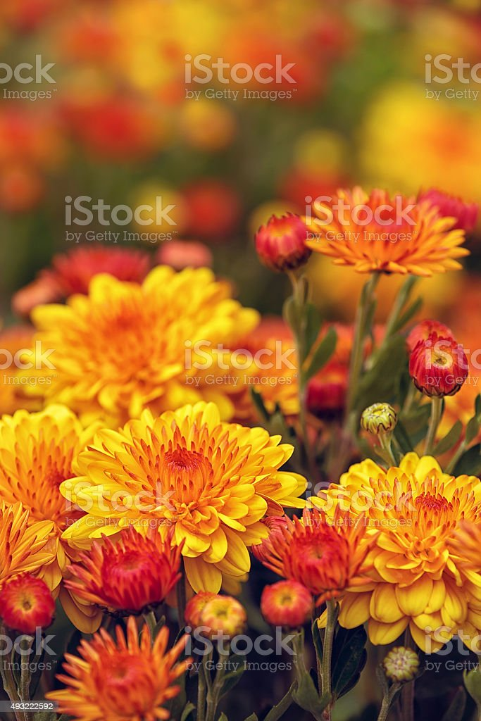 Autumn Mums or Chrysanthemums in bloom stock photo