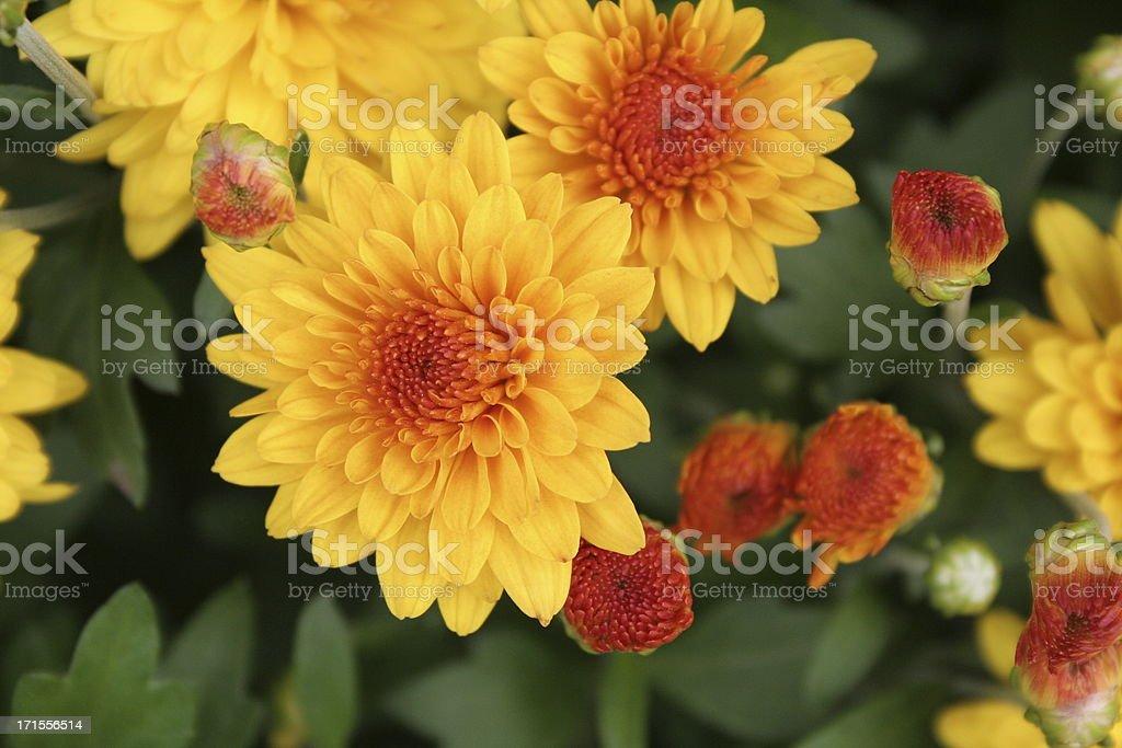 autumn mums royalty-free stock photo