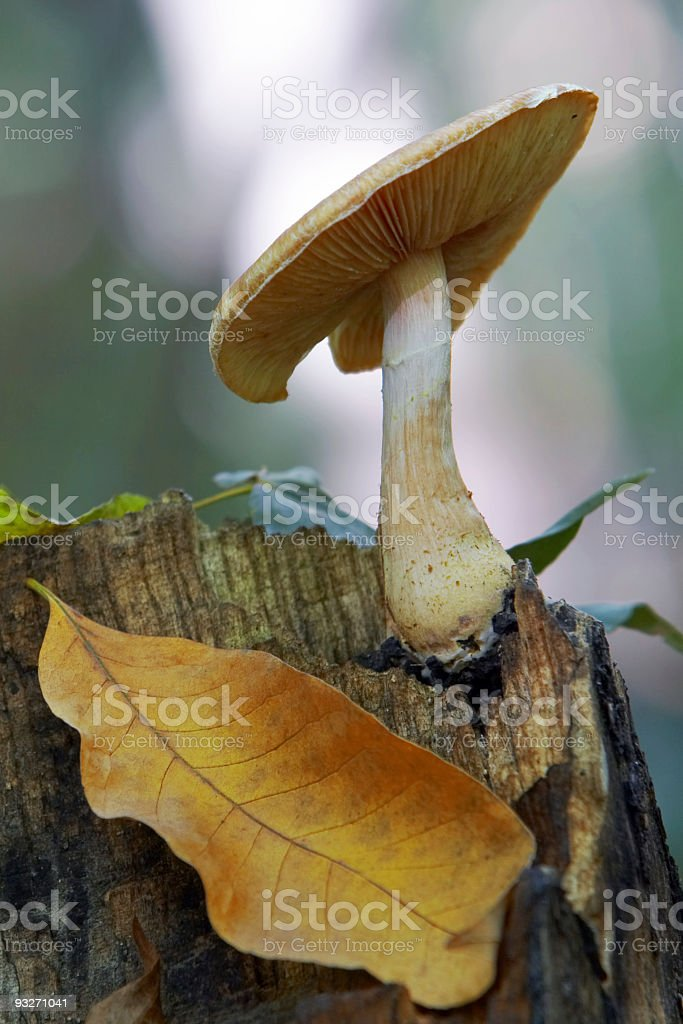 Autumn Mushroom royalty-free stock photo