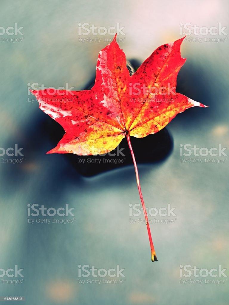 Autumn nature. Orange red  maple leaf. Fall leaf on stone stock photo