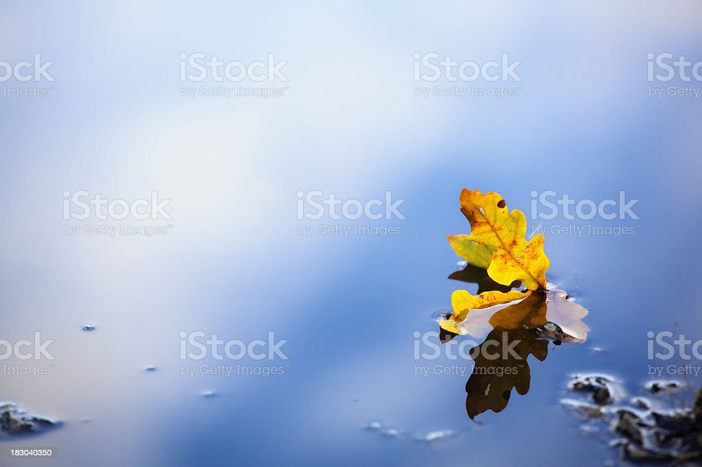 Autumn Oak Leaf in Water royalty-free stock photo
