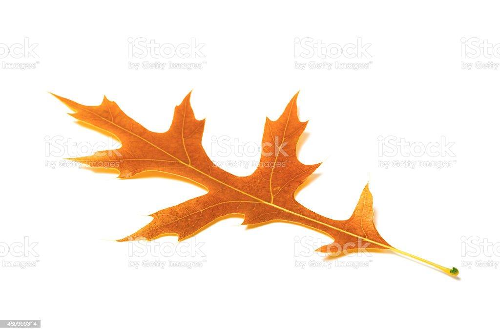 Autumn oak leaf on white background stock photo