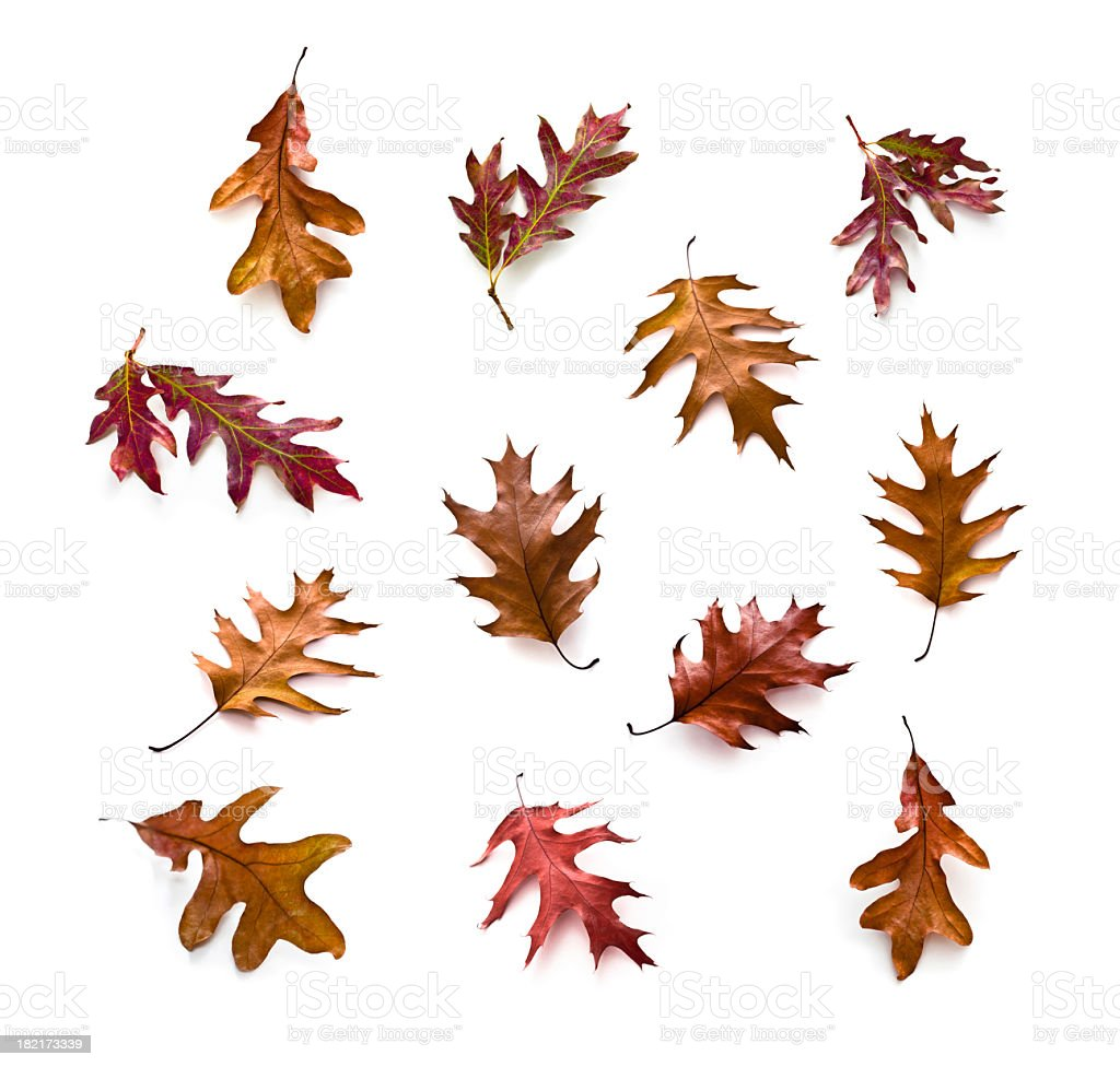 Autumn Oak Leaf stock photo
