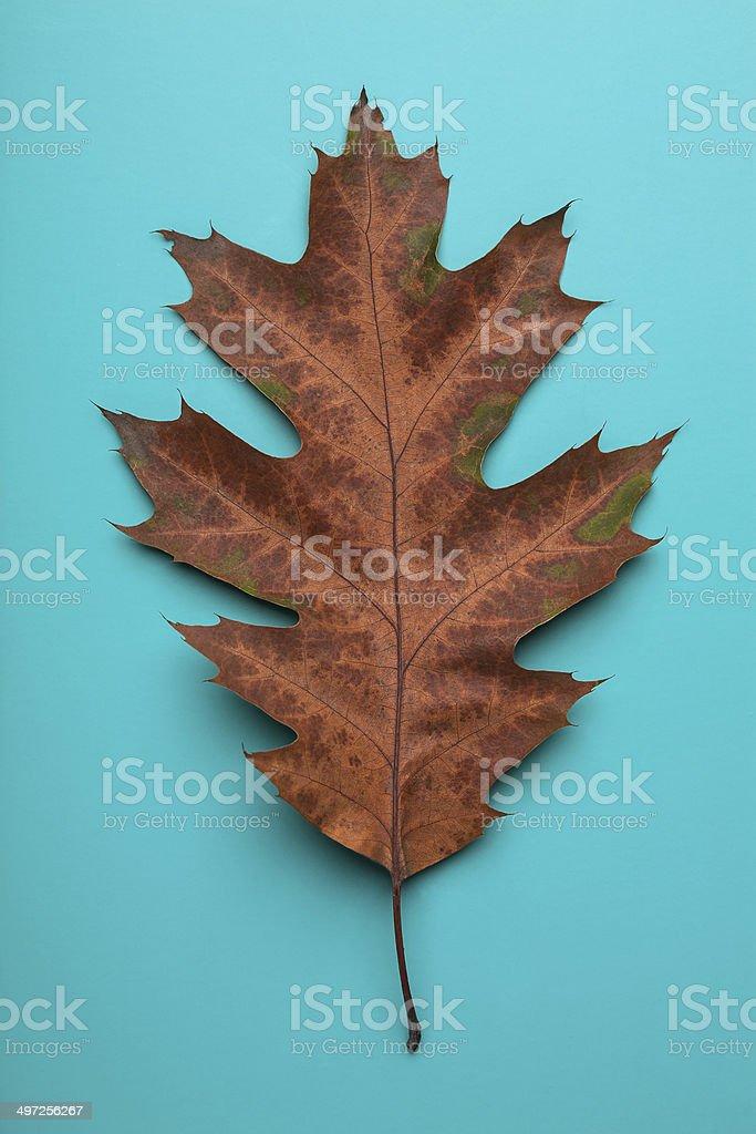 autumn oak leaf stock photo