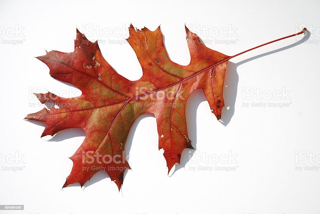 Autumn Oak Leaf royalty-free stock photo