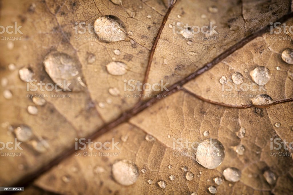 Autumn Oak leaf with water drops stock photo