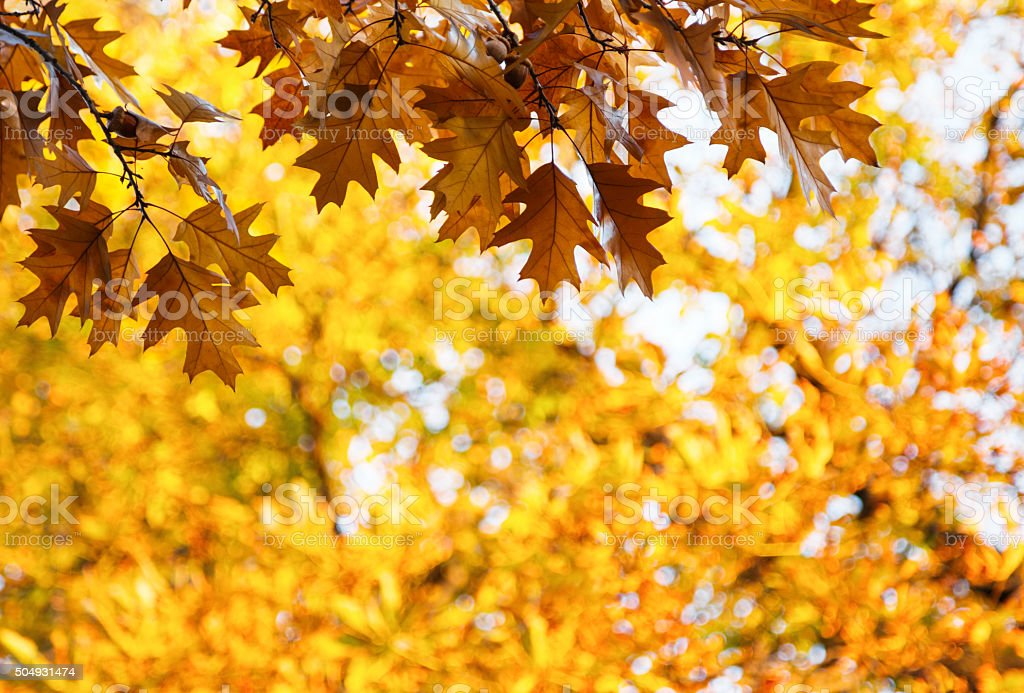 Autumn oak leaves on a branch with acorns stock photo