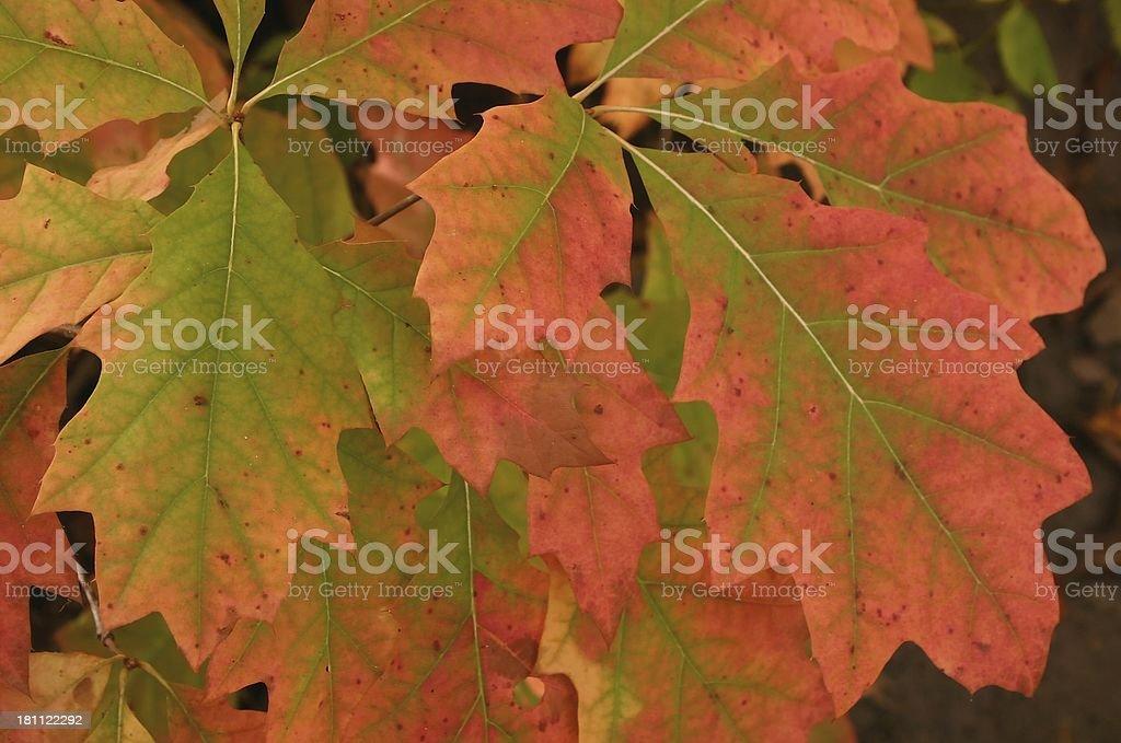 Autumn Oak Leaves royalty-free stock photo