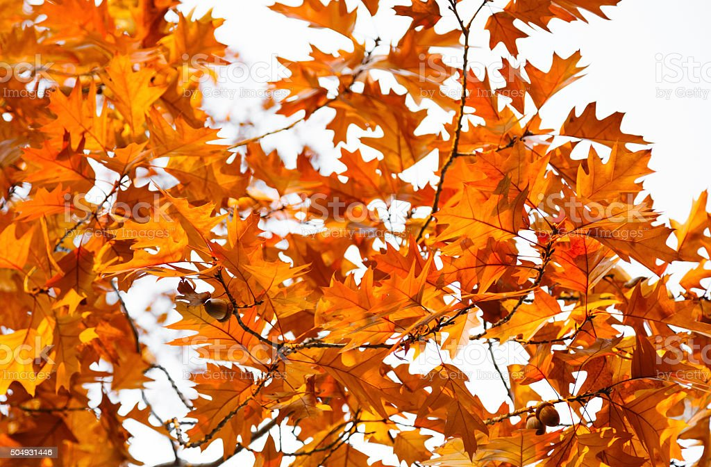Autumn oak leaves with acorns against the bright sky stock photo
