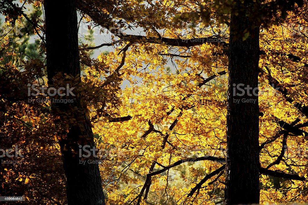 Autumn oak trees stock photo