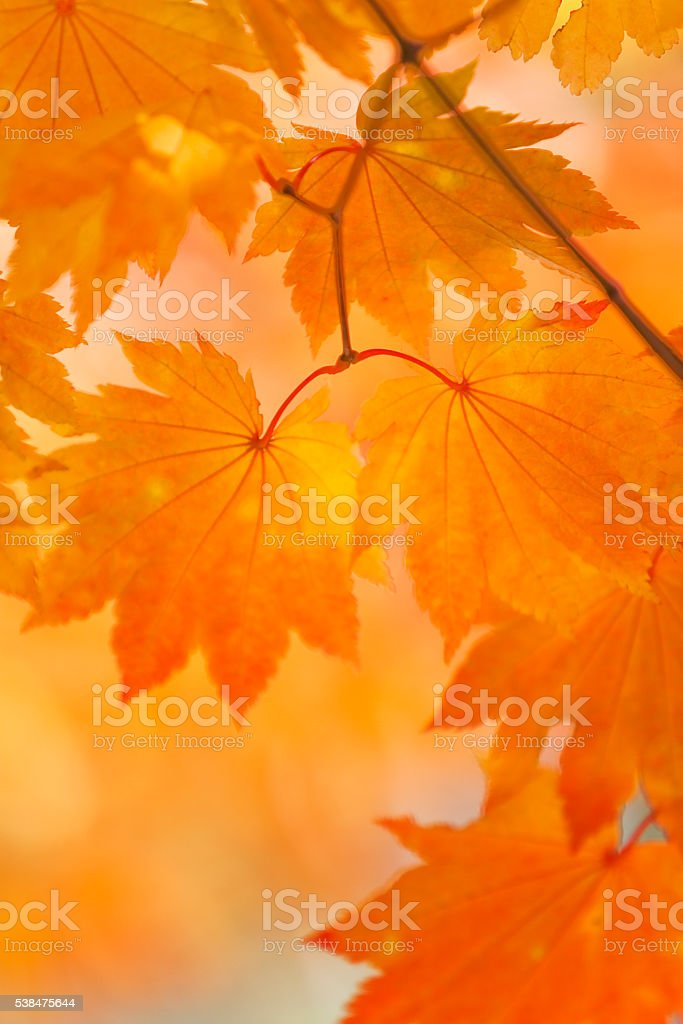 Autumn Orange Leaves Close Up stock photo