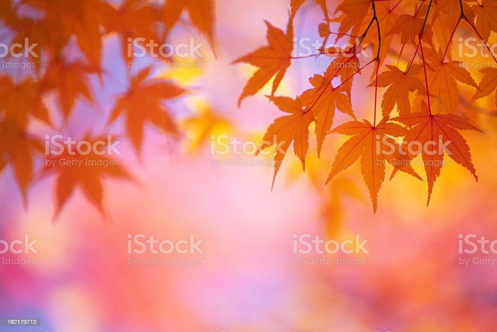 Autumn Orange Leaves royalty-free stock photo