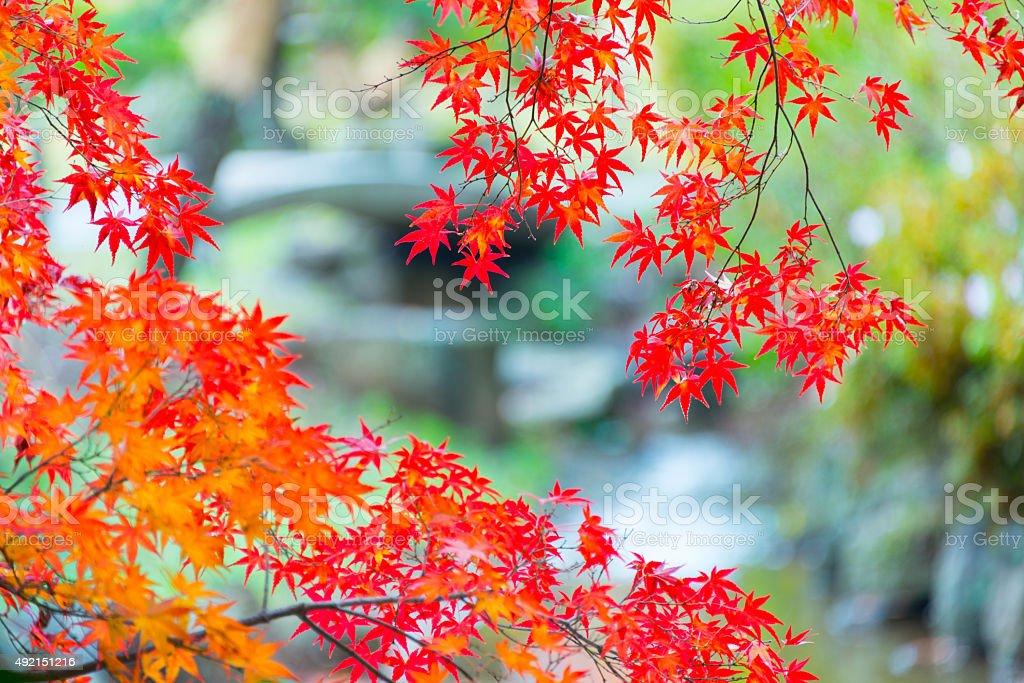 Autumn Orange Leaves stock photo