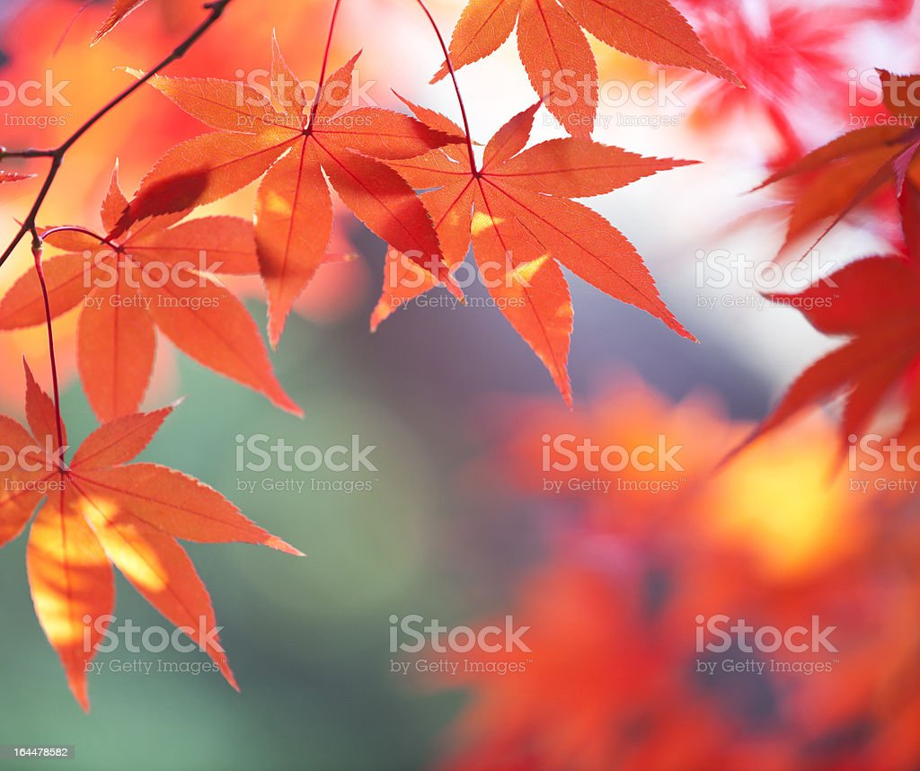 Autumn Orange Leaves With Sunlight royalty-free stock photo