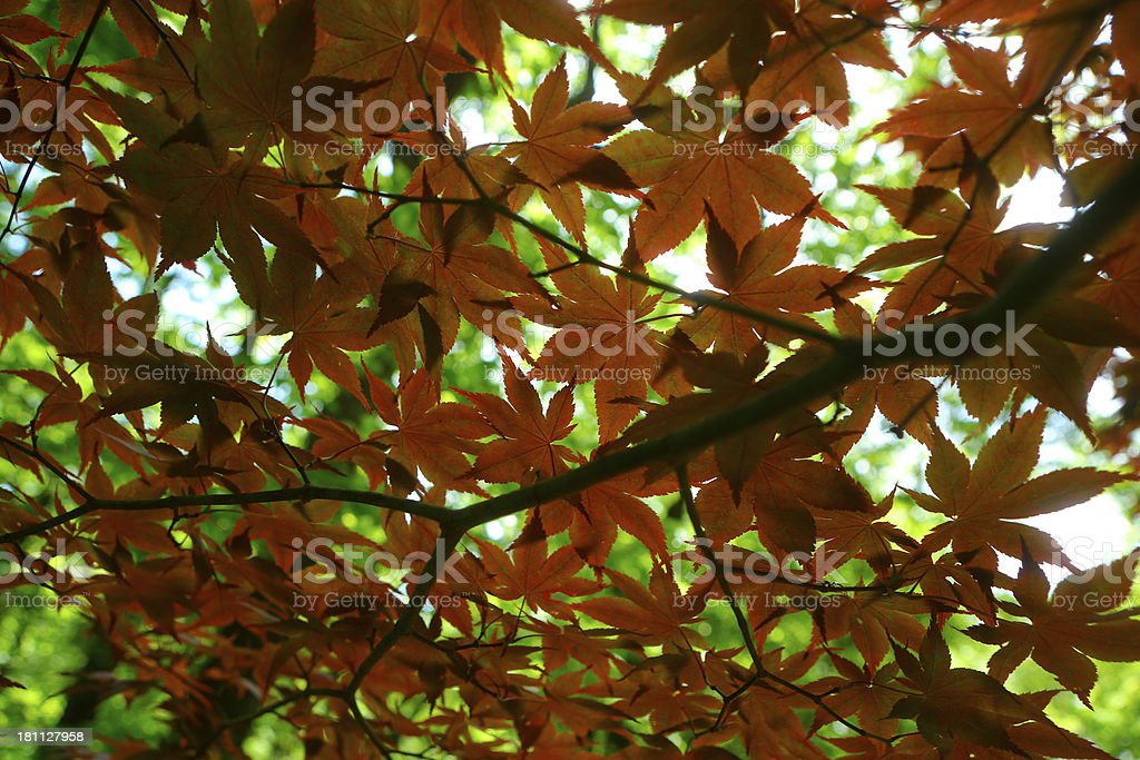 autumn orange maple leaves royalty-free stock photo
