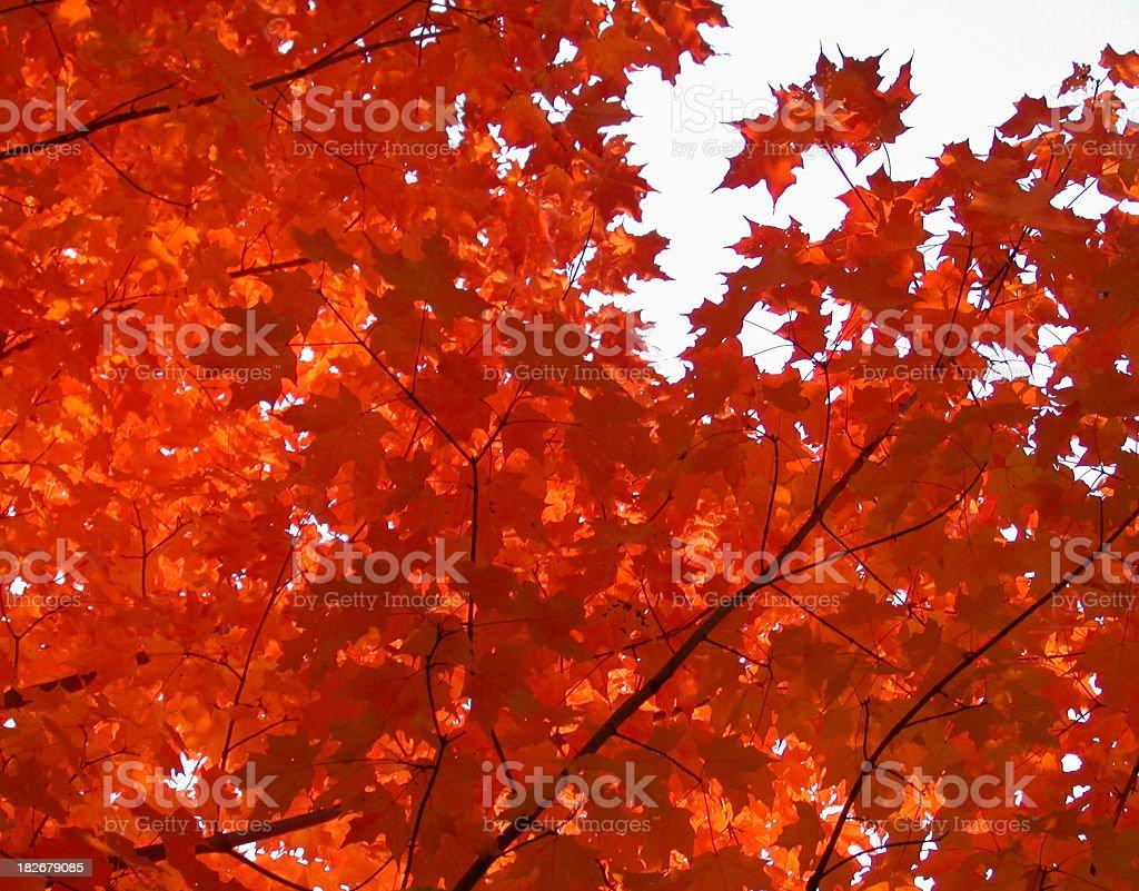 Autumn Orange Maples royalty-free stock photo